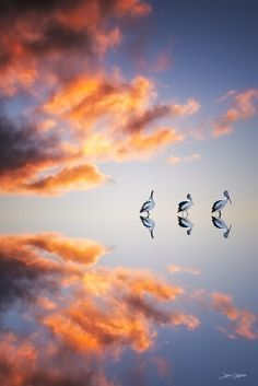 Reflection - Pelicans at Sunset