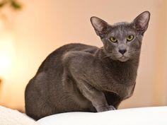 Gato oriental de pelo largo. MundoGatos.com