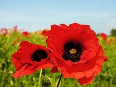 Flawless 23 Best Armistice Day Poppies Ideas https://decoratio.co/2017/11/12/23-best-armistice-day-poppies-ideas/ The issue of the way to keep in mind the fallen was brewing. It's also called Poppy Day. Veterans Day is observed in honor of all of the soldiers who have served or are serving in the USA armed forces.
