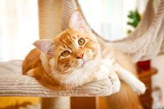 Vivir con un gato puede ser muy gratificante y pronto se sienten como un miembro de la familia. Al igual que todos los miembros de su familia, quiere asegurarse de que su gato se mantenga feliz y saludable. Muchos de