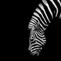 Zebra. God gave the Zebra a fascinating paint job. I could look at this, like sunsets for hours.