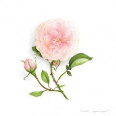 The rose « Souvenir de la Malmaison Botanical Drawings, Botanical Illustration, Botanical Art, Illustration Art, Art Floral, Watercolor Rose, Watercolor Paintings, La Malmaison, Vegetable Illustration