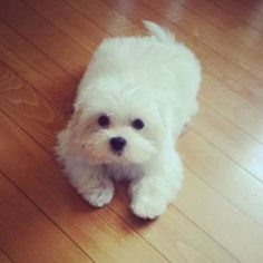 Fluffy little Maltese dog. Aaaaah Maltese love <3