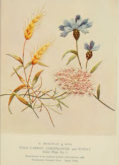 "Wild Carrot, Cornflower and Wheat Embroidery from ""A Treatise on Embroidery"" published in 1907."