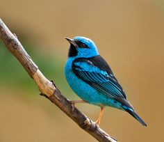 Blue Dacnis (Dacnis cayana) Central and South America