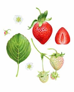 Archival quality print of my original food illustration featuring the growth stages and anatomy of the strawberry. This art print has was Pineapple Illustration, Garden Illustration, Fruit Illustration, Food Illustrations, Red Wall Art, Fruits Drawing, Fruit Art, Red Fruit, Kraut