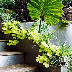 Everything is illuminated Leaves of a giant elephants ear are surrounded by limey green heuchera. Embossed steel risers on steps bounce light around and make the whole area glow.