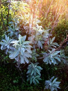 White Sage - Aromatic and medicinal