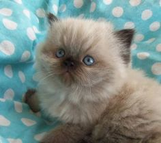 Adorable Himalayan Persian... what my baby looked like as a kitten