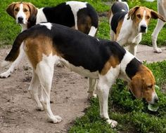American Foxhound Best dog in the world!!!