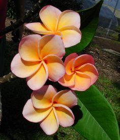 Gold OP #3 Plumeria Rooted Cutting, Maui Plumeria Gardens