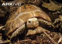 Elongated tortoise, front view - View amazing Elongated tortoise photos - Indotestudo elongata - on Arkive Endangered Reptiles, Different Types Of Turtles, Kawaii Turtle, Tortoises, Pet Care, Pets, Raising, Closure, Videos