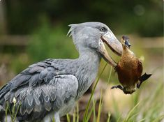 A Shoebill picked up a duck that got in its way — it eventually let the duck go.