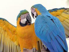 Foto arara-canindé (Ara ararauna) por Marcio A. Cavalheiro | Wiki Aves - A Enciclopédia das Aves do Brasil