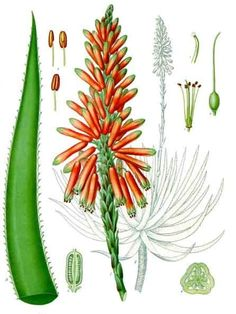 Flower: Aloe; Meaning: Victorian - Grief; Medicinal Constituents:     Acemannan and other polysaccharides, Aloe-emodin, Aloins, Barbaloin and Isobarbaloin, amino acids, enzymes, essential fatty acids (anti-inflammatory), essential oil, Galactomannans, glycoproteins (protein-carbohydrate compounds that speed the healing process by stopping pain and inflammation), minerals, polysaccharides (carbohydrate that stimulates skin growth and repair), resin, vitamin C, vitamin E,  Zinc
