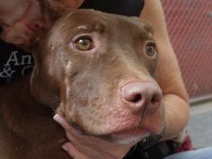 Manhattan Center    XENA - A1008311    FEMALE, BROWN, PIT BULL MIX, 6 mos  STRAY - STRAY WAIT, NO HOLD  Reason STRAY   Intake condition NONE Intake Date 07/28/2014, From NY 10452, DueOut Date 07/31/2014  https://www.facebook.com/Urgentdeathrowdogs/photos/a.617938651552351.1073741868.152876678058553/846820678664146/?type=3&permPage=1