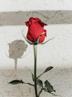 40+Red rose image download free Aesthetic Light, Flower Aesthetic, Red Aesthetic, Aesthetic Pictures, Rose Images, Rose Photos, Single Red Rose, Image Gifts, Flower Phone Wallpaper