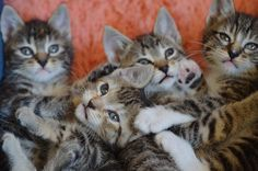 The Itty Bitty Kitty Committee: Spots and Stripes FOREVER!
