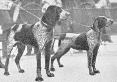Perdiguero de Burgos Pointer Dog, German Shorthaired Pointer, Best Dogs, Animal Pictures, Spanish, Hunting, Puppies, Pointers, Fun Stuff