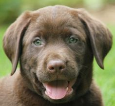 chocolate lab puppies with blue eyes for sale - Google Search