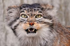 Manul (Palla's Cat) . . . 21 inches long, 5-10 lb.; long hair; India, Pakistan, western China and Mongolia, Afghanistan, Turkemistan, and Siberia; lives in isolation, not able to domesticate partially since immune system is not good enough to live around people and the cat and/or offspring rarely lives.