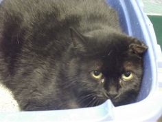 Defiance, OH. URGENT! Punkin. Domestic Short Hair • Adult • Female • Medium. Fort Defiance Humane Society. UPDATE: No longer listed, status unknown.