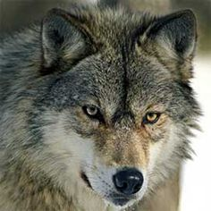 70 Scientists Recommend Continued Protection for Wolves | Endangered Species Coalition
