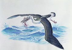 """Art illustration - Prehistoric Birds - Osteodontornis: the giant """"bone-toothed bird"""" is an extinct seabird genus. It contains a single named species, Osteodontornis orri, With a wingspan of 5.5 to 6 metres (18 to 20 ft) and a height of 1.2 metres (3.9 ft) when on the ground, Osteodontornis orri and similar giant pseudotooth birds were the second-largest flying birds known, surpassed only by the teratorn Argentavis magnificens."""