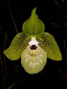 Paphiopedilum malipoense - Flickr - Photo Sharing!