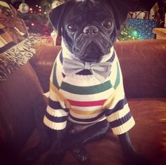 This pug may be the most stylish dog we have EVER seen - with bow tie AND Hudson's Bay Stripes.