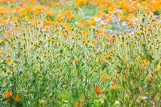 Title  Nature's Artwork - California Wildflowers   Artist  Ram Vasudev   Medium  Photograph - Digital Photography, Digital Art