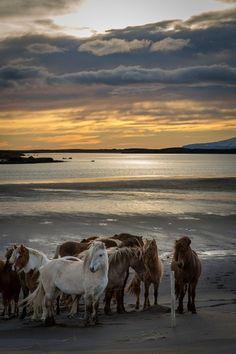 Исландские лошади на пляже на закате, недалеко от города Хебн на востоке Исландии. по одра.Дж.фэйрчайлд