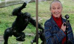Trump's Behavior Similar To Male Chimpanzee, Says Jane Goodall   Huffington Post
