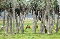 Palmeras de Rocha - Fotos de los Palmares - Departamento de Rocha - URUGUAY. Imagen #37268