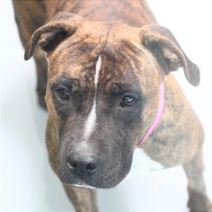 *VENUS-ID#A731892  Shelter staff named me VENUS.  I am a female, brown brindle Pit Bull Terrier.  The shelter staff think I am about 3 years old.  I have been at the shelter since Aug 06, 2013.