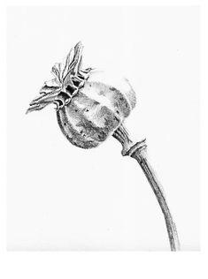 poppy seed head drawing - Buscar con Google