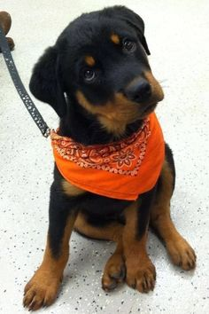 """Click visit site and Check out Best """"Rottweiler"""" T-shirts. This website is top-notch. Tip: You can search """"your name"""" or """"your favorite shirts"""" at search bar on the top. Baby Puppies, Cute Puppies, Cute Dogs, Rottweiler Love, Rottweiler Puppies, Rottweiler Facts, Beagle, Beautiful Dogs, Animals Beautiful"""