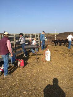 Banding calves.