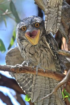Tawny Frogmouth | Flickr - Photo Sharing! The tawny frogmouth (Podargus strigoides) is a species of frogmouth native to Australia that is found throughout the Australian mainland and Tasmania. Tawny frogmouths are big-headed stocky birds often mistaken for owls due to their nocturnal habits and similar colouring.