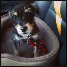 Toy poodle rat terrier mix awww Pinterest Poodles