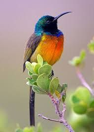The Orange-breasted Sunbird (Anthobaphes violacea) is the only member of the bird genus Anthobaphes. This sunbird is endemic to the 'fynbos' habitat of southwestern South Africa (photo by Marcus Conway is of a MALE Golden-breasted Sunbird) Kinds Of Birds, All Birds, Little Birds, Love Birds, Angry Birds, Flying Birds, Pretty Birds, Beautiful Birds, Animals Beautiful