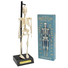 Anatomical Skeleton Model   DotComGiftShop