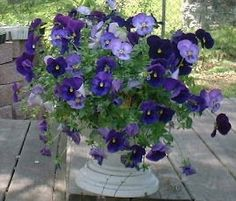 Pansies, Love white pots with these color of pansies!!! So victorian!