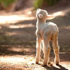 She is not a leg of lamb. She is a little lamb who wants to live her precious life. Every single life matters to the one whose life it is. Farm Animals, Animals And Pets, Cute Animals, Beautiful Creatures, Animals Beautiful, Baby Lamb, Sheep And Lamb, Baby Sheep, Tier Fotos