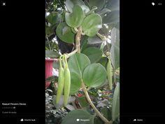 Hoya Pachyclada with seeds