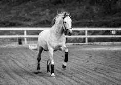Horse - Yeguada Centurion