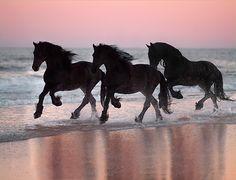 Three Friesians on the Sea Shore Line.