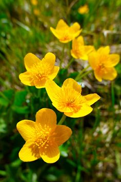 Alpine Marsh Marigolds ( Caltha Palustris ) . Faulhorn Mountain , Bernese Alps . Switzerland