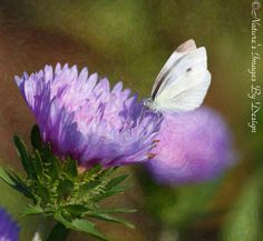 White Butterfly Print  Single Cabbage From Nature's Images By Design  #natureimagesbydesign  #photography  #nature
