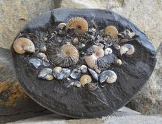 аммониты, мел, гетероморфные аммониты, Deshayesites, апт, Aconeceras, Aconeceras trautscholdi, Ammonites, Volgoceratoides, Deshayesites volgensis, Sinzovia, Sinzovia trautscholdi, Aconeceratidae, Aptian, Cretaceous, heteromorph ammonites